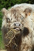 Portrait of Galloway cow eating straw in Vaucluse - France