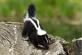 Baby skunk on a log on the ground in Minnesota - USA