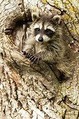 """Raccoon in a tree ; The North American Raccoon is medium-sized mammal native to North America. It is nocturnal and lives in wooded and urban environments. It's most noted features are its dexterous front paws and its dark facial """"mask"""". It is considered intelligent"""