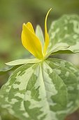 Yellow trillium in bloom in the Great Smoky Mountains - USA