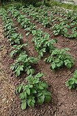 Potatoes in an organic kitchen garden