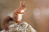 Red squirrel on a rock - Northern Vosges France