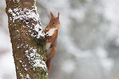 Red squirrel on a trunck - Northern Vosges France