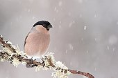 Bullfinch on a branch in winter - Northern Vosges France
