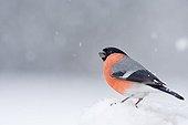 Bullfinch under snow - Northern Vosges France