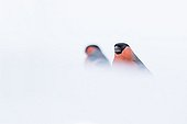 Bullfinches in snow - Northern Vosges France