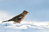 Common Chaffinch in snow - Northern Vosges France