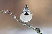 European Crested Tit - Northern Vosges France