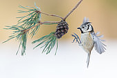 European Crested Tit landing on cone pine - France
