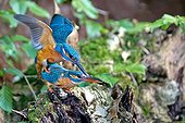 Common Kingfisher mating - Northern Vosges France