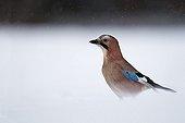 Eurasian Jay in the snow - France