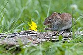 Common Vole eating on bark - Northern Vosges France