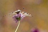 Apollo pollinating a flower - Vanoise Alps France
