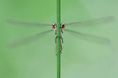 Scarce Blue-tailed Damselfly - Northern Vosges France