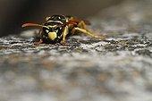 European paper wasp on a rock in an organic garden