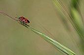 Shield bug on grass in an organic garden