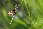 Speckled wood butterfly on grass in an organic garden
