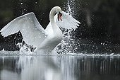 Mute Swan and splashes - Alsace France
