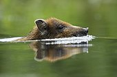 Portrait of Young Wild Boar swimming - Alsace France