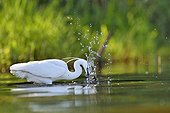 Little Egret catching a fish - Dombes France