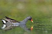 Moorhen on the water - Dombes France