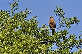 Egyptian Kite on a branch - Dombes France