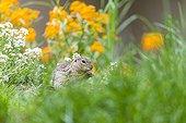 European ground squirrel eating among flowers