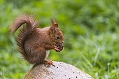 Eurasian red squirrel eating on a stone