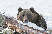 Brown bear sit under snow against a trunk