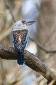 Blue-winged kookaburra in Queensland - Australia