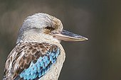 Blue-winged kookaburra portrait in Queensland - Australia
