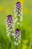 Burnt orchids in bloom in Drôme - France