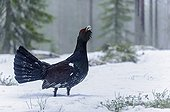 Western capercaillie in snow - Finland