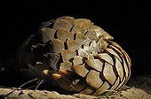 Cape pangolin curled at night - Botswana