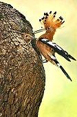Hoopoe feeding its young in the nest - Botswana