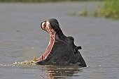Portrait of Hippo mouth open in water - Botswana