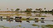 Wild dogs running in water - Botswana