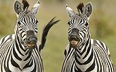 Portrait of Plains Zebras in the savannah - Botswana