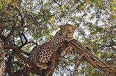 Male leopard lying in a tree - Botswana