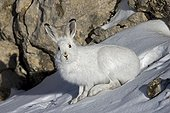 Mountain hare in the winter livery - Swiss Alps