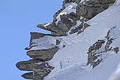 Mountain hare in snow in the winter livery - Swiss Alps