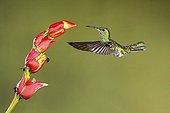 White-necked Jacobin female foraging in flight - Costa Rica