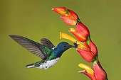 White-necked Jacobin male foraging in flight - Costa Rica