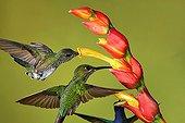White-necked Jacobin foraging in flight - Costa Rica