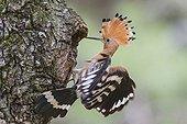 Eurasian hoopoe on a trunk in Catalonia - Spain