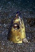 Portrait of High-Fin Snake Eel - Bali sea  Indonesia