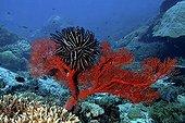 Schlegel's feather star on Fan Coral  - Bali sea  Indonesia