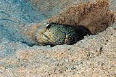 Harlequin prawn-goby in its burrow - Red Sea Egypt  ; with sand in the mouth