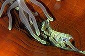 Anémone magnifique - Mer Rouge Egypte