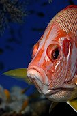 Portrait of Sabre squirrelfish  - Red Sea Egypt